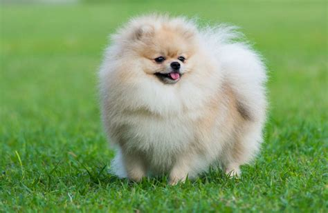 how to tell if your is a pomeranian how much does a pomeranian cost woof