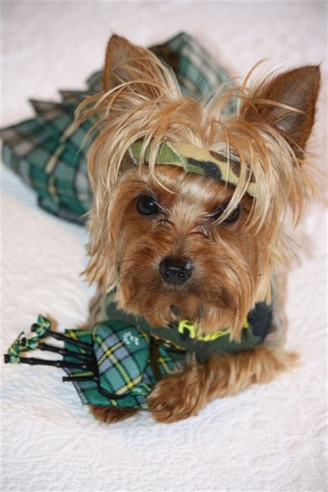 how will my yorkie live 158 best images about cutest yorkies on puppys haircuts and yorkie