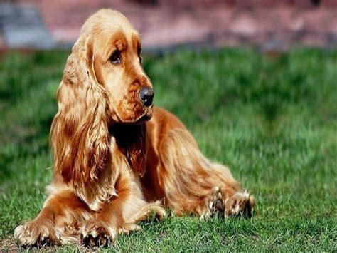 cani da appartamento per bambini cagnolini e bambini le razze migliori per i pi 249 piccoli