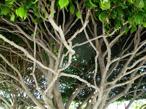 file shaped tree branches tenerife jpg wikimedia commons