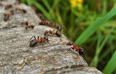 Was Hilft Gegen Ameisen Auf Der Terrasse 3700 by Ameisen Bek 228 Mpfen Haus Garten Top10 Mittel Im Test
