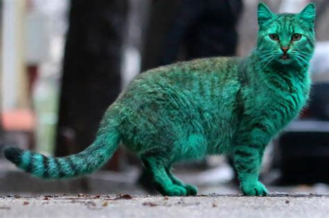 Green Cat varna cat goes green and it s not what you might fear