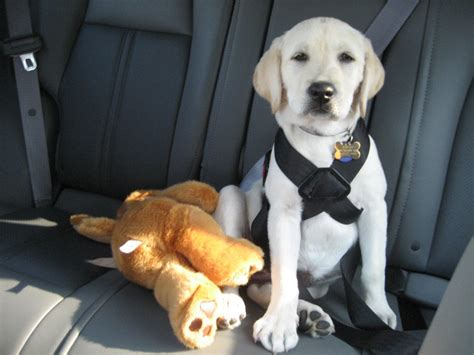 seat belt for dogs everything you need to about car seat belts
