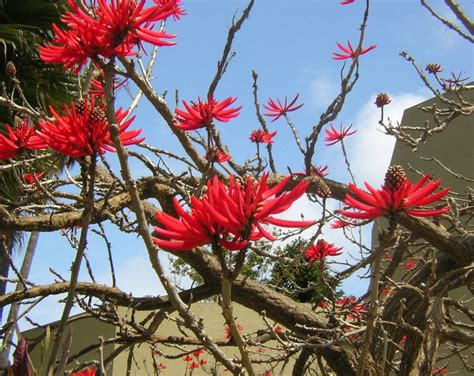 Stunning Shade Trees : Red Coral Tree   Large