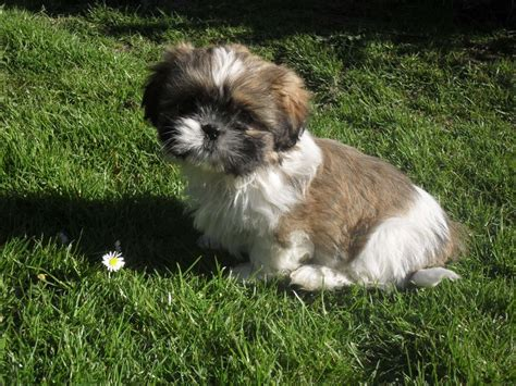 large shih tzu shih tzu puppies rhyl denbighshire pets4homes