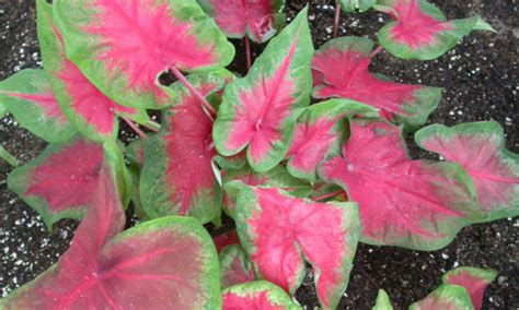 foliage plants in india indian nursery caladium or elephant ear exporter and