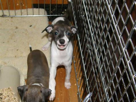 greyhound puppies for sale near me breeders maine puppies for sale italian greyhounds italian greyhound puppies for