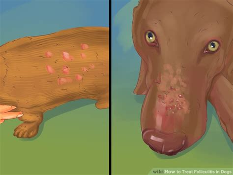 folliculitis in dogs how to treat folliculitis in dogs 11 steps with pictures
