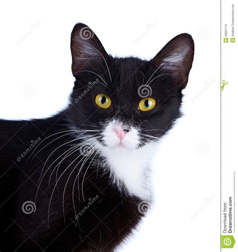 Portrait Of A Black and white Cat With Yellow Eyes. Stock