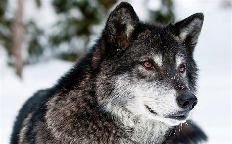 imagenes lobo negro lobo salvaje negro im 225 genes y fotos