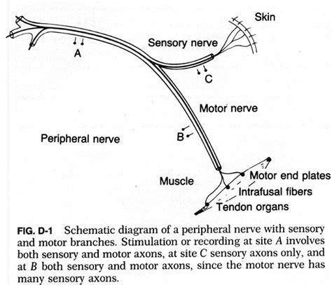 sensory motor and mixed nerves methods of conduction velocity estimation