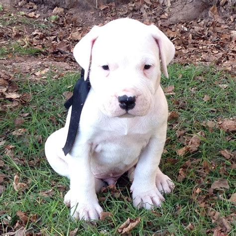 dogo dogs dogo argentino not in the housenot in the house