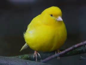 Canary by Brits In The Usa Of Wills And Canaries