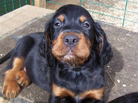 gordon settee gordon setter puppy looking at you photo and wallpaper