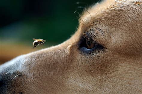 bee stings on dogs how to deal with bee wasp stings in dogs pets4homes