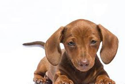 miniature dachshund puppies for sale ny teacup dachshund puppies for sale miniature dachshund teacup picture breeds picture