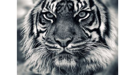 black and white siberian tiger 4k wallpaper free 4k