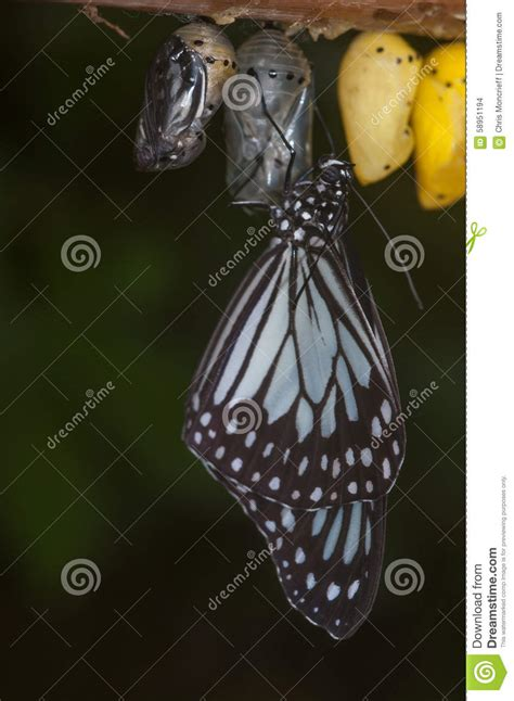 wings emerging from troubled times with new and deeper wisdom books butterfly emerging from pupae stock photo image 58951194