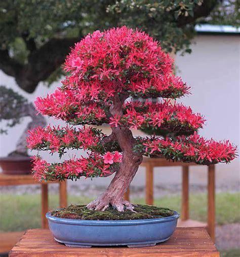 bonsai 10 seeds live flowering house plant indoor garden 503 best bonsai ideas images on pinterest bonsai trees