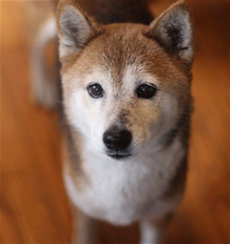 dc adoption dc shiba inu rescue washington dc rescue that specializes in shiba inu but also