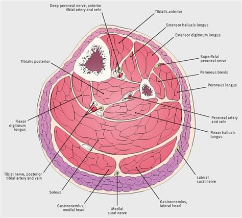 cross section of leg cross sectional anatomy of the leg midway between the knee