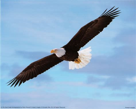 pictures of bald pictures of bald eagles soaring impremedia net