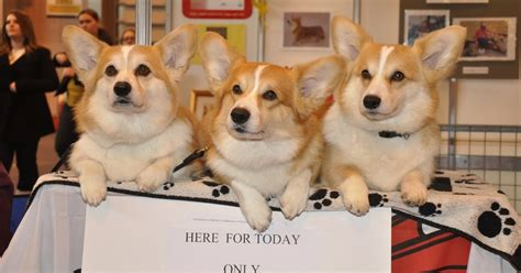 the queens corgis dog world crufts 2009 discover dogs welcomes the queen