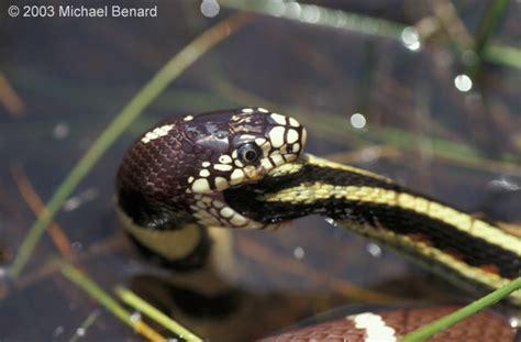 Garter Snake Eat California Kingsnake Common Garter Snake
