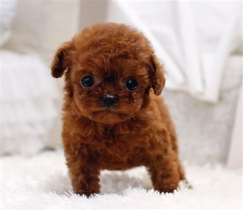 micro poodle puppy sold cece micro poodle itsy puppy teacup