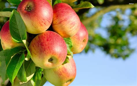organic fruit trees apple fruit wallpapers 1 fruit wallpapers