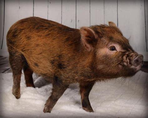 micro cochon domestique pas des vietnamiens autres animaux  adopter ville de montreal