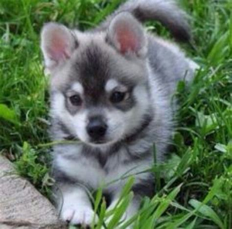 pomeranian husky for sale ohio 25 best ideas about pomeranian husky grown on grown pomsky