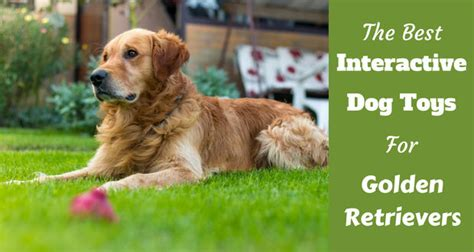 golden retriever original breed how to breed your golden retriever dogs in our photo