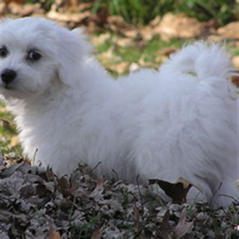 coton de tulear puppies for sale in pa coton de tulear puppies for sale in pa
