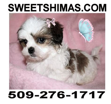 shih tzu puppies for sale in bellingham wa shih tzu maltese mix spokane breeds picture