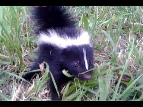 Skunk Meme - baby skunks memes