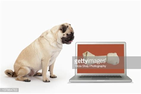 pug computer screen pug looking at bone on computer screen stock photo getty images
