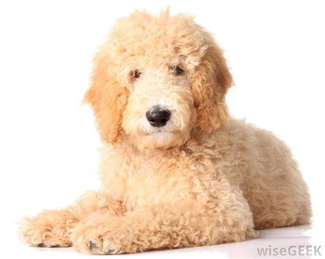 goldendoodle puppy weight gain 1000 images about golden doodles on f1b