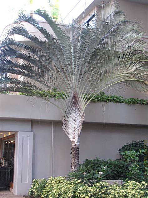 triangle tree hawaiian triangle palm tree dypsis decaryi 9