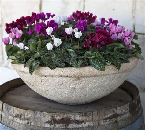 coltivazione ciclamino in vaso come coltivare il ciclamino non sprecare