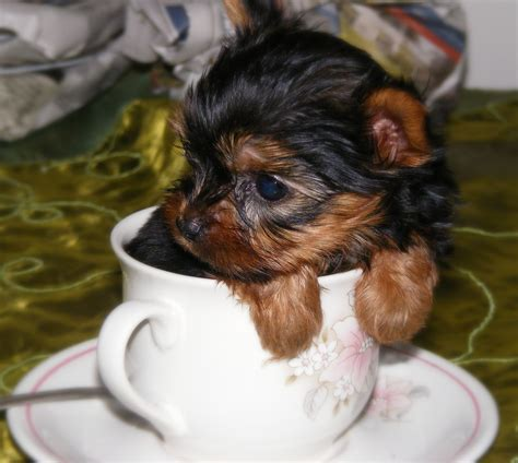 pocket yorkies teacups pocket and miniature yorkies qtpie kennels terrier puppies for sale