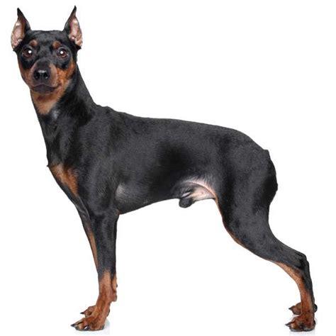 pinscher alimentazione pinscher scheda razza di cani it
