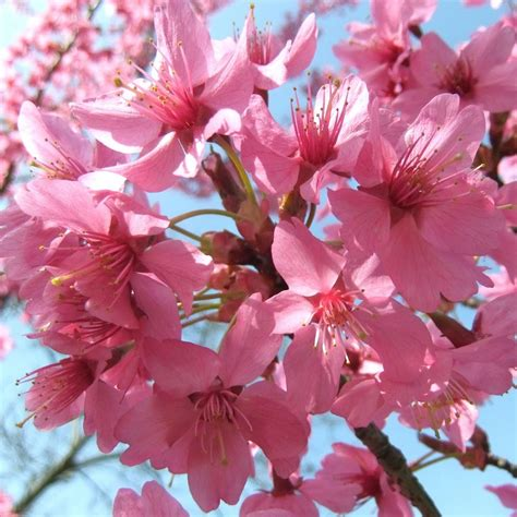 prunus collingwood ingram flowering cherry trees