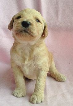 goldendoodle puppies for sale in south florida 1000 images about doodles on puppies for sale