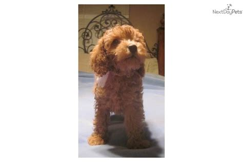 cockapoo puppies for sale ohio cockapoo puppy for sale near dayton springfield ohio b17abee7 b6d1