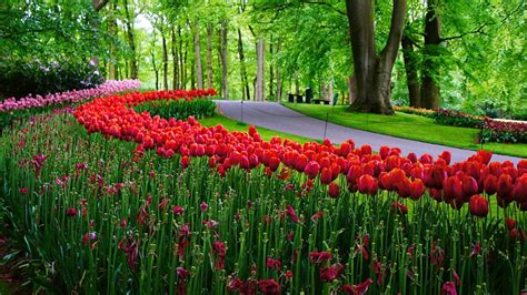 how to plant tulips timing growing caring storing for tulip varieties