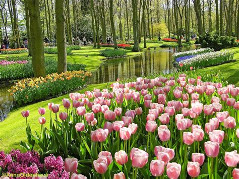 wallpaper bunga tulip pink gambar taman bunga pink tulips places to visit
