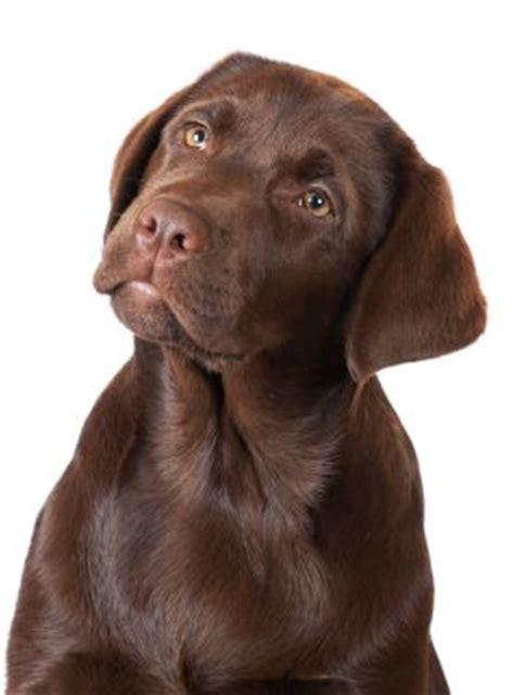 chocolate lab puppies information best 25 chocolate labradors ideas on chocolate labrador puppies
