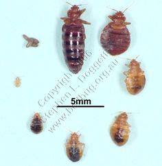bed bug carcass bed bug molting pile of carcasses bed bugs pinterest