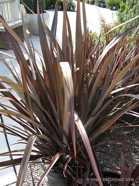 new zealand flax dusky chief phormium gardens plants